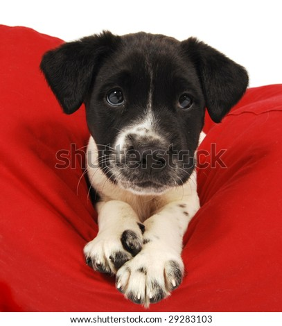 A cute black and white puppy on a bean bag chair. - stock photo