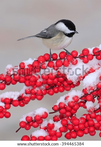 A cute Black- capped Chickadee (Poecile atricapillus) at snowy winter berries. - stock photo