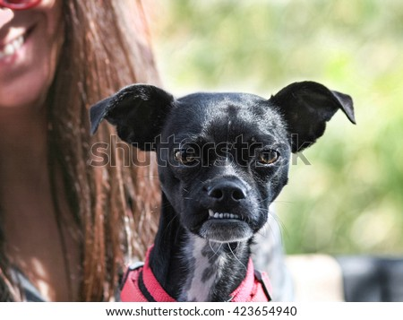a cute boston terrier chihuahua mix with a funny under bite sitting on its unidentifiable owner's lap  - stock photo