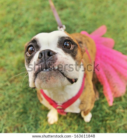a cute boston terrier with a dress - stock photo