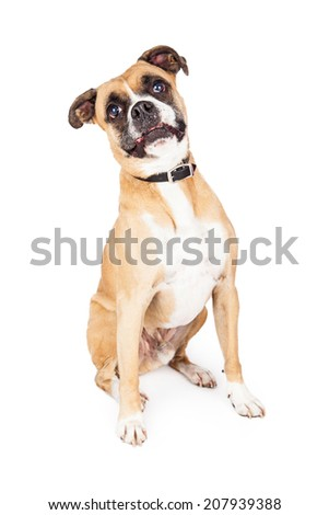 A cute Boxer crossbreed sitting and looking at the camera with a funny expression
