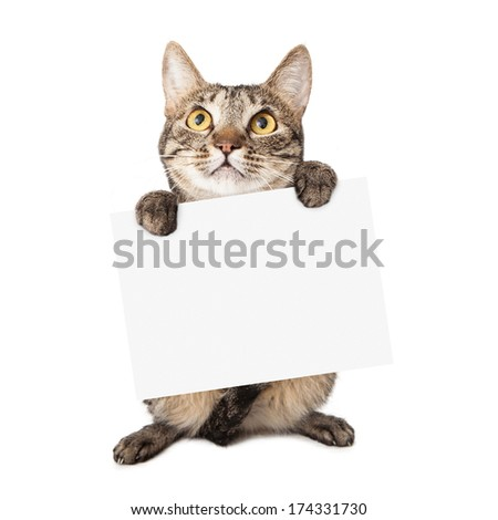 A cute brown and black striped cat holding up a blank white cardboard sign for you to enter your message onto - stock photo