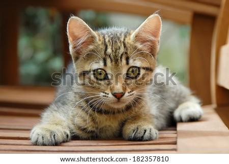A cute brown tabby kitten, European Shorthair, Germany - stock photo