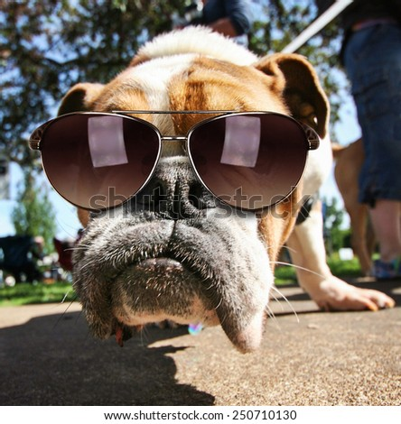 a cute bulldog with sunglasses on in a park - stock photo