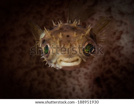 A cute Burrfish swims up from the reef, California Dreamin' dive site, Lembeh Straits, North Sulawesi, Indonesia - stock photo