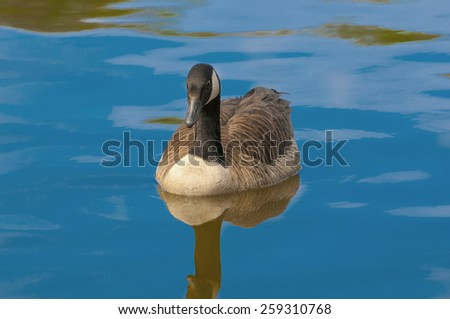 A cute canadian geese floating on a local water body during spring - stock photo