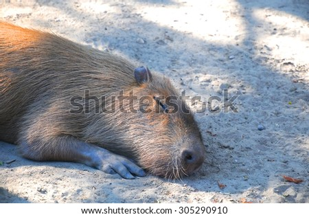 A cute capybara taking a nap under the sun in Budapest Zoo - stock photo