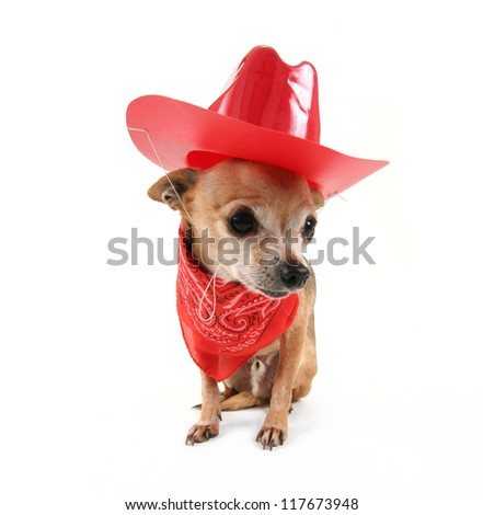 a cute chihuahua dressed up for christmas - stock photo
