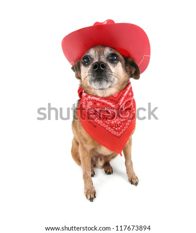 a cute chihuahua dressed up like a cowboy - stock photo