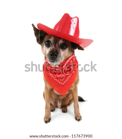 a cute chihuahua dressed up like a cowboy
