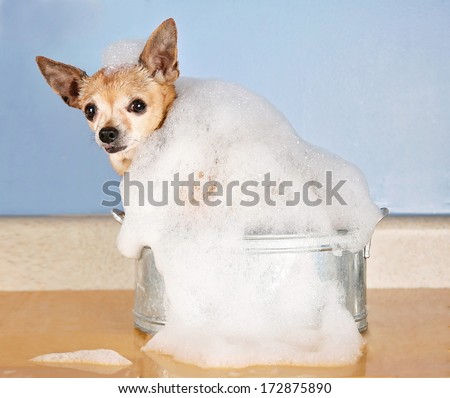a cute chihuahua in a bath tub with bubbles - stock photo