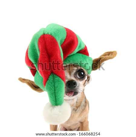 a cute chihuahua in a christmas hat
