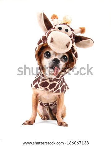 a cute chihuahua in a costume - stock photo