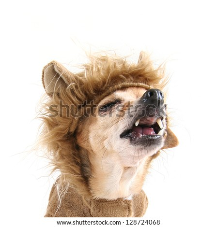 a cute chihuahua in a lion costume - stock photo