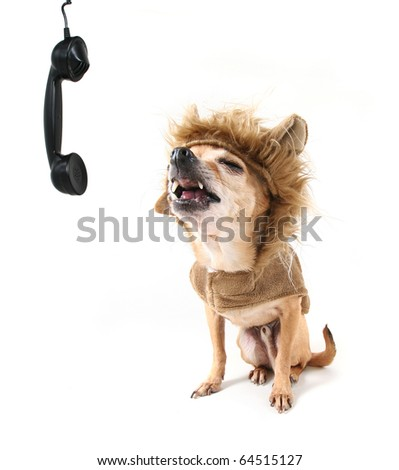 a cute chihuahua in a lion costume