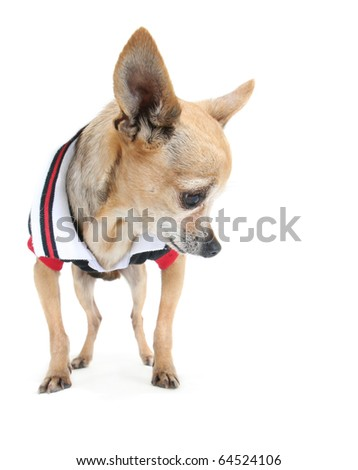 a cute chihuahua in a tiny shirt