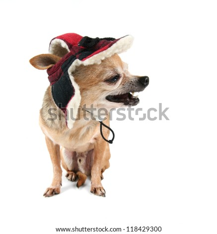 a cute chihuahua in a winter hat - stock photo
