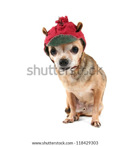 a cute chihuahua in a winter hat