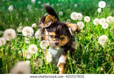 A cute chihuahua in the dandelions field. - stock photo