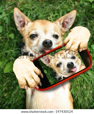 a cute chihuahua in the grass taking a selfie on a cell phone camera  - stock photo