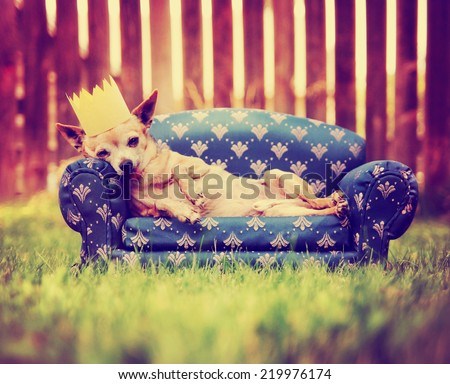 a cute chihuahua laying on a couch with a crown on toned with a retro vintage instagram filter - stock photo