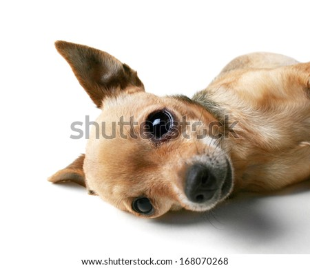 a cute chihuahua lying on his side - stock photo