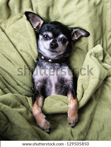 a cute chihuahua napping in a blanket - stock photo