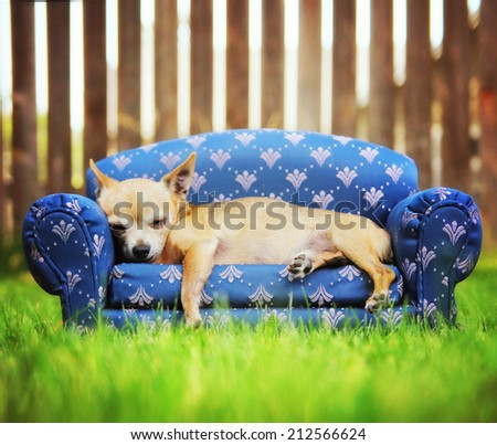 a cute chihuahua napping on a couch outside in the grass - stock photo
