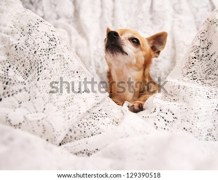 a cute  chihuahua on a blanket looking up - stock photo