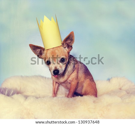 a cute  chihuahua on a blanket with a crown on - stock photo