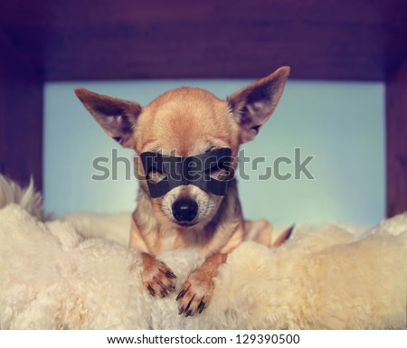 a cute  chihuahua on a blanket with a mask on - stock photo