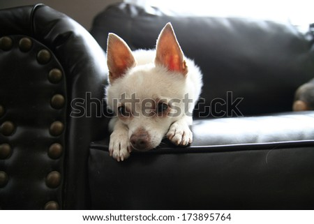 a cute chihuahua on a couch (high key natural light shot) - stock photo