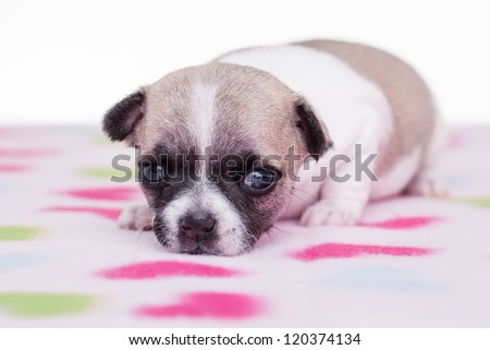 A cute chihuahua on a flower blanket.
