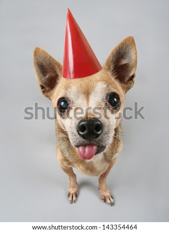 a cute chihuahua on a gray background with a birthday hat on - stock photo