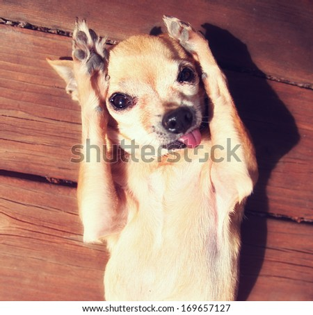 a cute chihuahua rubbing his paws on his face in the sun