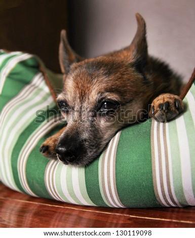 a cute  chihuahua taking a nap - stock photo