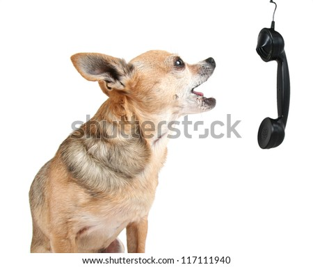 a cute chihuahua talking on the phone - stock photo