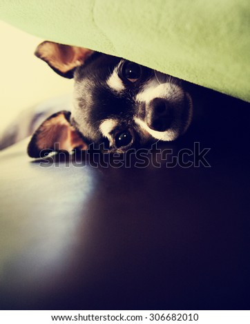 a cute chihuahua under a blanket on a couch toned with a retro vintage instagram filter effect app or action - stock photo