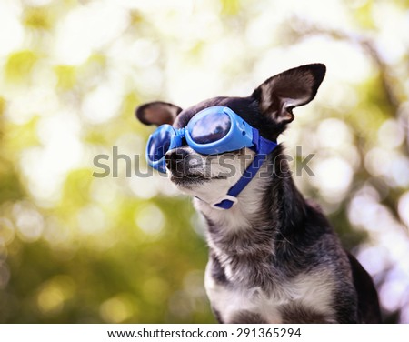 a cute chihuahua wearing goggles and sitting outside during summer time  - stock photo