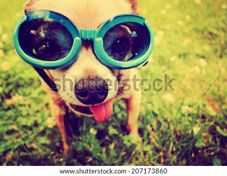 a cute chihuahua wearing goggles in the grass with his tongue out toned with a retro vintage instagram filter  - stock photo