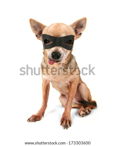a cute chihuahua with a black mask on - stock photo