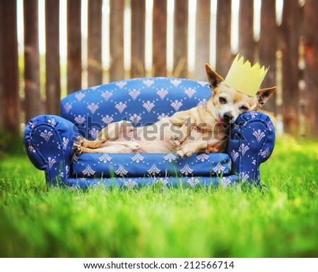 a cute chihuahua with a crown on napping on a couch outside in the grass - stock photo