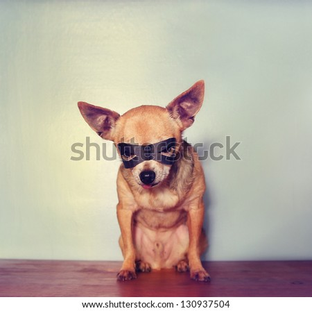 a cute chihuahua with a mask on - stock photo