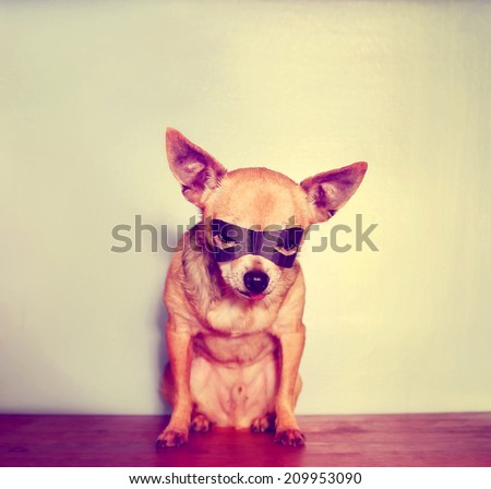 a cute chihuahua with a mask on toned with a retro vintage instagram filter  - stock photo
