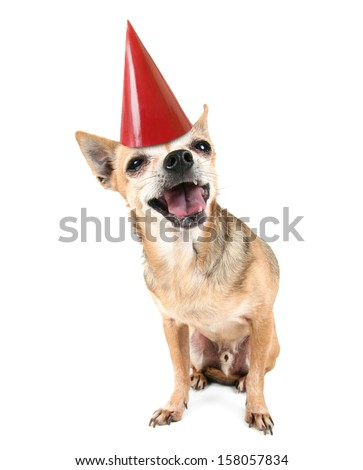 a cute chihuahua with a red party hat on - stock photo