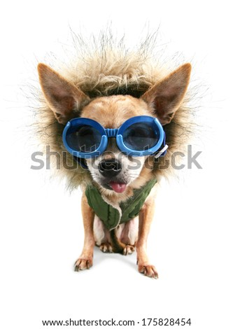a cute chihuahua with a winter coat and goggles on