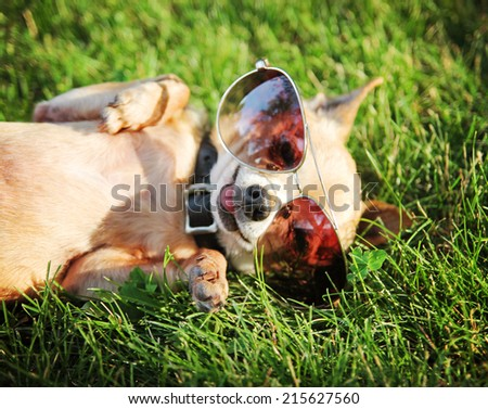 a cute chihuahua with aviator sunglasses on  - stock photo