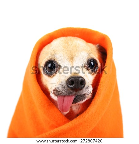 a cute chihuahua with his tongue hanging out and a blanket wrapped around him isolated on a while background in the studio - stock photo