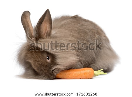 A cute chocolate colored mini lionhead bunny rabbit is eating a carrot, isolated on white background