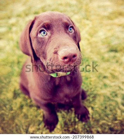 a cute chocolate lab puppy sitting in the grass  - stock photo